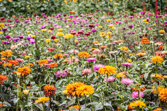 Field of Colorful Zinnias Royalty Free Stock Image