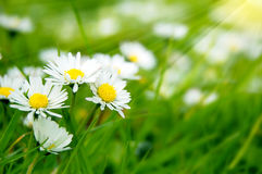 Field of daises Royalty Free Stock Image