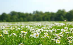 Field with daises. Shallow field of depth stock image