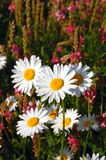 Field of daisies. A shot of a beautiful field of daisies Stock Image