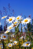 Field of daisies. Daisy in front of the blue sky Royalty Free Stock Images