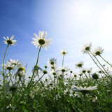 Field of daisies. Season specific royalty free stock photo