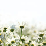 Field of daisies. Season specific royalty free stock images