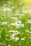 Field of daisies. Stock Images