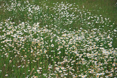 Field of Daisies Stock Photography