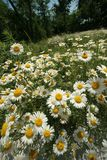 Field of daisies  Royalty Free Stock Photography