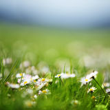 Field of daisies Royalty Free Stock Images