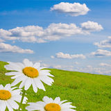 Field with daisies Stock Photo
