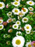 Field of daisies. Field full of white daisies Stock Photo