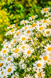 Field daisies Royalty Free Stock Photos