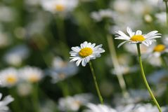 Field of daisies Stock Images