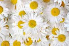 Field daisies Stock Images