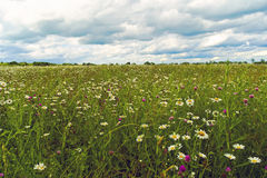 Field of daisies Royalty Free Stock Image