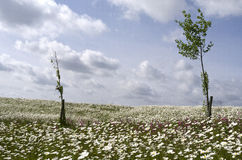 Field with daisies. Royalty Free Stock Photo