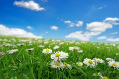 Field with daisies. Field of daisies with clouds on the sky Royalty Free Stock Photo