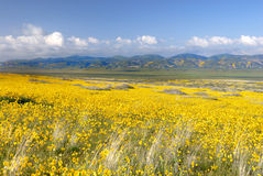 Field of Daisies. Vast fields of yellow coreopsis flowers and green hillsides Royalty Free Stock Photo