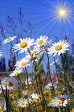 Field of daisies. Daisy in front of the blue sky Stock Photos