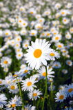 Field of daisies Stock Photos
