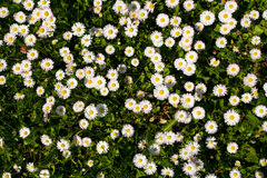 Field with daisies from above Royalty Free Stock Photos