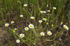 Field daisies Royalty Free Stock Photography