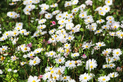 Field of daisies in bloom, detail Stock Photo