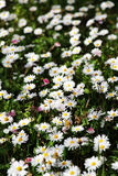 Field of daisies in bloom, miniature style Stock Photography