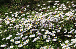 Field of daisies in bloom, miniature style Royalty Free Stock Image
