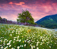 Field of daisies blooming in mountains in summer Stock Images