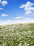 Field of daisies and blue sky Stock Photos