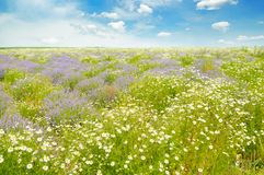 Field with daisies and blue sky. Royalty Free Stock Images