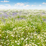 Field with daisies and blue sky, focus on foreground. Stock Image