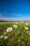 Field of daisies and blue sky Royalty Free Stock Image