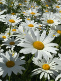 Field of Daisies. Bright white daisies with yellow center bloom in the garden. A colorful spring time flower recalls memories of the childhood game called Loves Stock Images