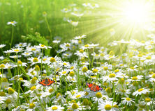 Field of daisies with butterflies Stock Photo