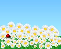 Field with daisies, cdr vector. Background with blue sky, white daisy flowers and red ladybug, vector format Royalty Free Stock Photos