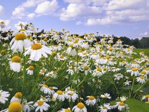 Field of Daisies or Chamomile Stock Image