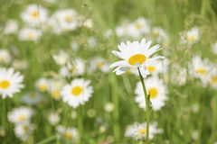 Daisies field   Royalty Free Stock Photography