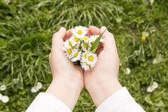 Field of daisies in children's hands Royalty Free Stock Image