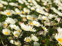 Field of daisies Stock Image