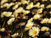 Field of daisies Stock Photo