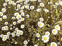 Field of Daisies royalty free illustration