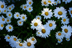 Field of Daisies Daisy Flowers with Golden Sunbeams Spring Summe Stock Photography