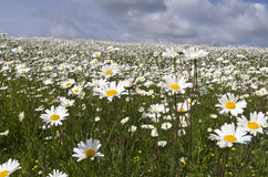 Field with daisies. Stock Photography