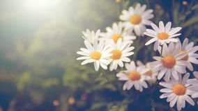 Field daisies Stock Photography