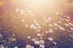 Field daisies Stock Photo
