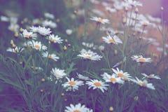 Field daisies Royalty Free Stock Photo