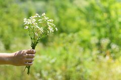 Field daisies in female hand royalty free stock photos
