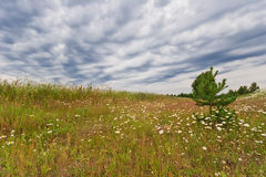 Field with daisies Royalty Free Stock Photo