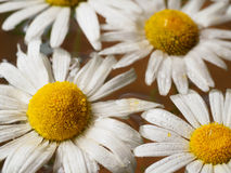 Field of daisies floating in the water. Chamomile with drops of water. Flowers with white petals and yellow pistils Royalty Free Stock Photo