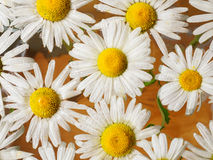 Field of daisies floating in the water. Chamomile with drops of water. Flowers with white petals and yellow pistils Stock Photos